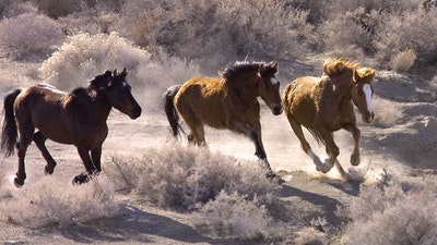 Featured image for Wild Horse Wars